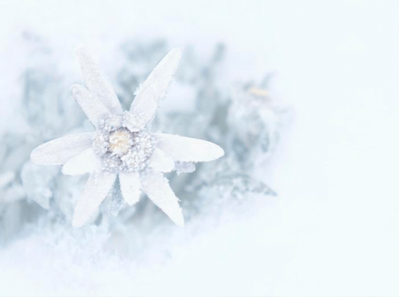 the edelweiss flower its meaning symbolism, Natural flower