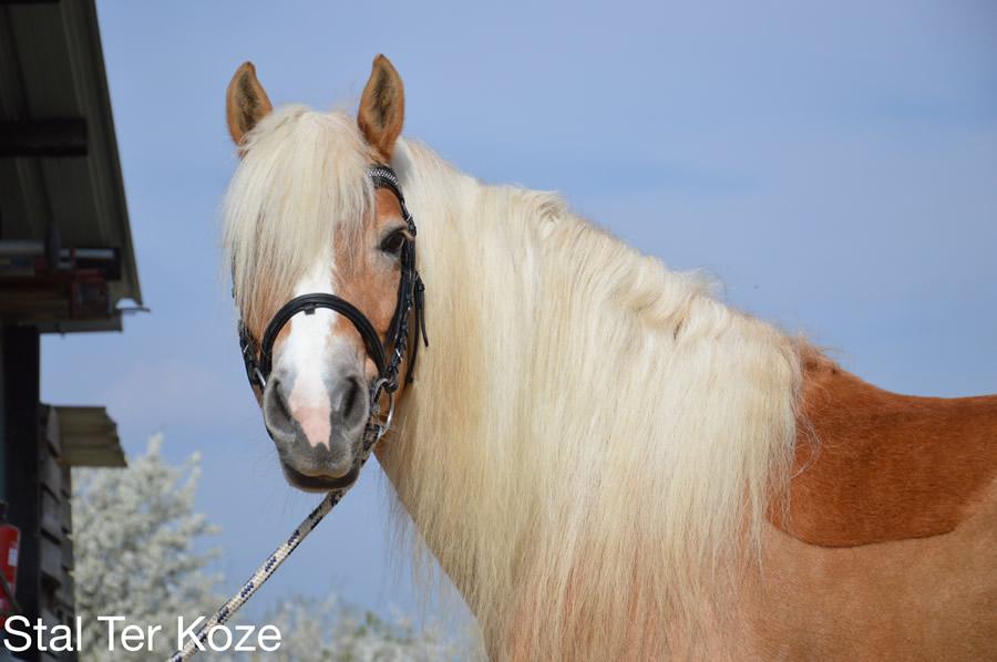 dekking van een paard
