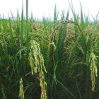 Effects of Napnutriscience products on rice , tested in Chitwan, Nepal