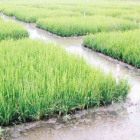 Utah Rice Mix ideal soil feeding for rice in Thailand