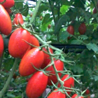 Mammoth Calcium Boron tested on tomato in Guangxi China