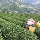 Ergogenie tested on tea plantation in Taiwan