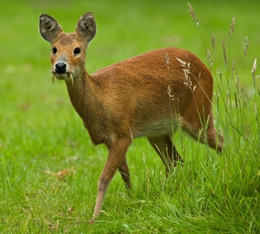 Butcher & Edmonds deliver Chinese Water Deer