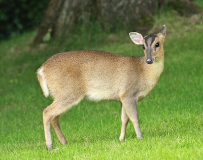 Butcher & Edmonds deliver Muntjac