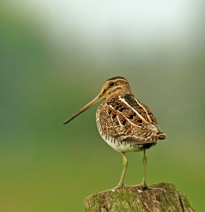 Butcher & Edmonds deliver Common Snipe