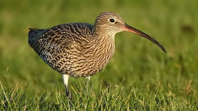 Butcher & Edmonds deliver Curlew