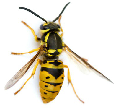 Wasp Pest Control Maine