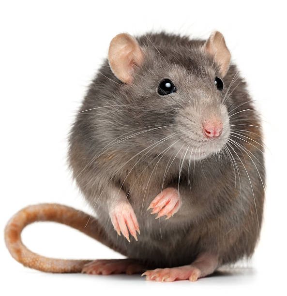 Rodent Pest Control Massachusetts
