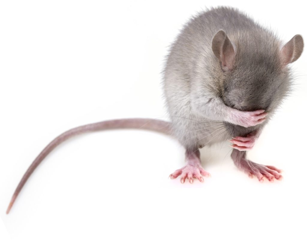 Get rid of mice - removal Rochester NH