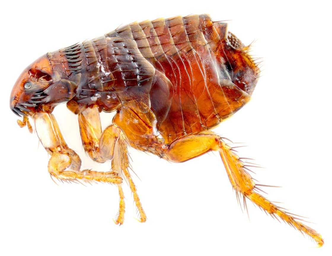 Flea Pest Control Massachusetts