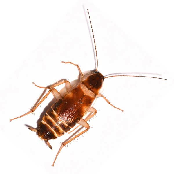 Roach Exterminator - FITZWILLIAM NH