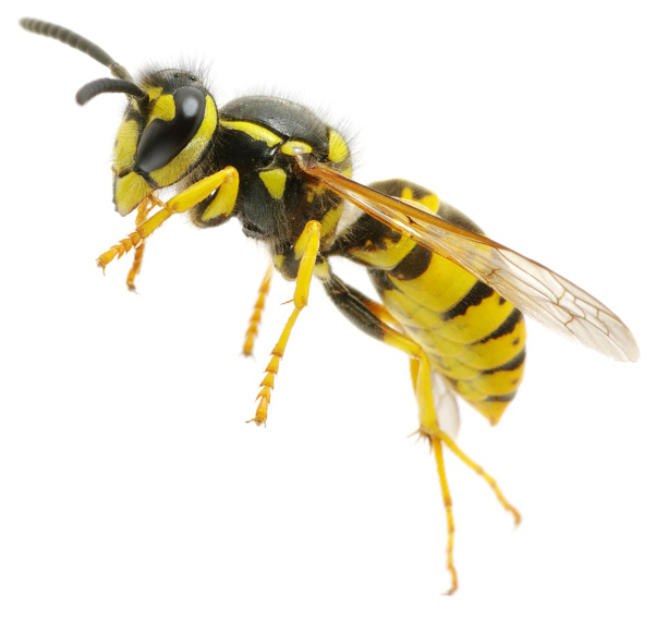 Yellow Jacket Pest Control New England