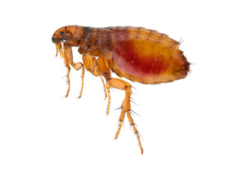 Flea Infestation New Hampshire